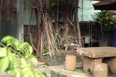 1 cây cổ thụ quấn chặt xe máy hàng chục năm