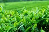 Muốn giảm cân nên nhớ đến 10 loại trà này