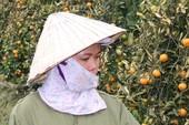 Bỏ phiếu kín tìm kẻ gian phá hoại quất của nông dân