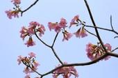 Hoa kèn hồng nở rộ, khoe sắc ở các tuyến đường TP.HCM
