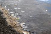 Cá chết trắng sông vì nước thải đen ngòm của khu công nghiệp