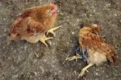 Đà Nẵng: Vẫn chưa rõ nguyên nhân gà chết sau khi ăn cá