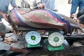 Bắt được cá hô vàng 125 kg ở sông Tiền