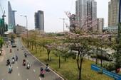 Ngỡ ngàng ngắm kèn hồng khoe sắc trên phố Sài Gòn