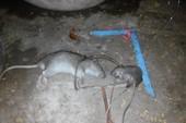 Cà Mau: Thêm một người chết vì tai nạn điện