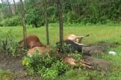 5 con bò của một gia đình tại Thừa Thiên-Huế bị sét đánh chết