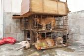 Gắn biển giả đi bán 9 con chó vừa trộm