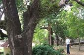 Cụm cây xoài Đá Trắng được công nhận Cây di sản Việt Nam