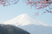 Ngắm hoa anh đào dưới chân Phú Sĩ