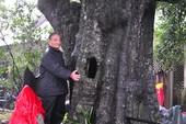 Cây di sản VN đầu tiên ở Huế