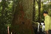 Hai cây pơ mu, sa mu nghìn năm tuổi đón bằng di sản Việt Nam