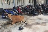 'Tạm giam'... 2 con bò vì gây tai nạn giao thông