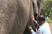 Gắn chip điện tử để quản lý voi nhà ở Đắk Lắk