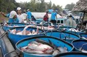 Thương lái Trung Quốc bất ngờ tới tận ao mua cá tra lượng lớn
