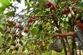 Thê thảm với cà chua từng được tâng bốc '1 triệu đồng/kg'