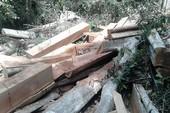 Hàng ngàn khối gỗ quý ở rừng Sông Lũy bị triệt hạ