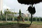 Lần đầu tiên hươu cao cổ sinh con tự nhiên tại Thảo Cầm Viên