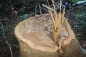 23 cổ thụ trong rừng phòng hộ bị hạ