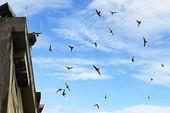 Bến Tre tạm thời ngưng xây mới, mở rộng nuôi chim yến
