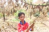 Khóc ròng vì sầu riêng đặc sản chết khô hàng loạt