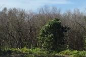 Rừng phòng hộ rất xung yếu tại Cà Mau chết 9 ha