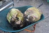 Hoảng hồn với củ cải lớn nhất thế giới