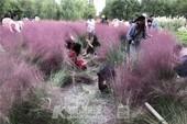 Vườn cỏ hồng tuyệt đẹp bị du khách Trung Quốc dẫm nát