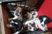 TP.HCM: Nhiều nhóm trộm chó ở Bình Tân