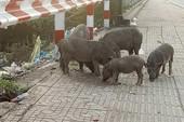 Làm gì với đàn heo thả rông trên đường Phạm Văn Đồng?