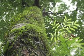 Người Hà Nội tiếc nuối hàng loạt cây cổ thụ sắp bị đốn hạ