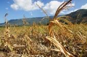 Hàng trăm ngàn hecta lúa, cà phê bị ảnh hưởng vì hạn hán