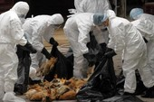 Phát hiện ổ dịch cúm A/H5N6 trên đàn gia cầm