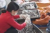 Tiêu hủy 20 tấn cá nục nhiễm phenol ở Quảng Trị