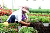 Làng hoa ở Đà Nẵng hối hả vào tết