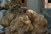 Củ khoai lang nặng gần 40 kg