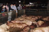 Thịt nhiễm dịch tả heo châu Phi có gây nguy hiểm cho người?