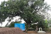 Kỳ thú cây xoài hơn 300 năm tuổi