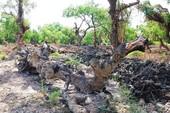 Rừng bần trăm tuổi bị đào, phá nham nhở
