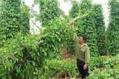 Gia Lai: Hàng ngàn trụ tiêu ngã đổ do lốc xoáy
