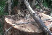 7 người cưa trộm cây thủy tùng hơn 500 tuổi