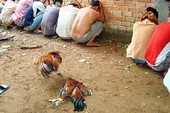 Bến Tre phạt hành chính 44 người đá gà ăn tiền