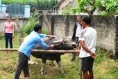 Trâu húc chủ bị thương và nhân viên thú y tử vong