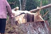 6 người hạ cây pơ mu trong khu bảo tồn bị khởi tố