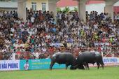 Những kháp đấu kịch tính tại lễ hội chọi trâu Đồ Sơn