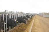 Vinamilk nhập hơn 2.000 bò sữa từ Mỹ
