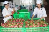Người Úc khen trái thanh long Việt ngon 'tuyệt vời'