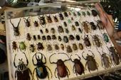 Các bạn trẻ nói về thú chơi bọ cánh cứng độc đáo