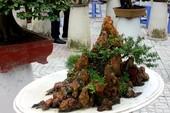 Clip: 100 cây Bonsai độc, lạ hút du khách tại An Giang