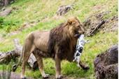 Bác tin Thảo Cầm Viên mua chó chạy rông cho sư tử ăn