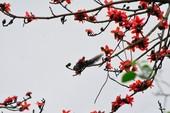 Ngắm hoa gạo đỏ rực trong rừng Cúc Phương